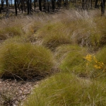 Spinifex hummocks