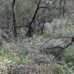 Image 2: Ngunya Jargoon IPA ranger removes vegetation from around scar tree