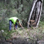 Image 3: Ngunya Jargoon IPA ranger removes vegetation from around scar tree