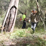 Image 4: Ngunya Jargoon IPA rangers remove vegetation from around scar tree and begin brush cutting