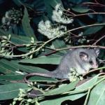 Eastern Pygmy possum
