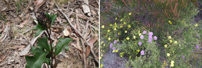 Significant plant species found at the Wattleridge Knucklebone site include: Backwater Grevillea- Grevillea scortechinii subsp. sarmentosa, Pink Kunzea- Kunzea obovata, Mountain She-oak Allocasuarina rigida, and Hoary Guinea-flower- Hibbertia obtusifolia