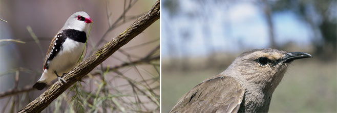 Finch-and-Tree-creeper
