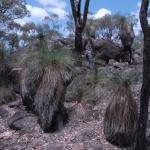 Grasstrees on granite
