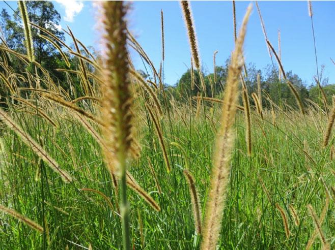 Setaria Grass Trials