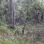 Image 1: Photo of the scar tree before works to clear a fire buffer around it