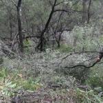 Image 2: Ngunya Jargoon IPA ranger removes vegetation from around scar tree