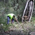 Image 3: Ngunya Jargoon IPA ranger removes vegetation from around scar tree