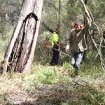 Image 4: Ngunya Jargoon IPA rangers remove vegetation from around scar tree and begin brush cutting