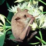 Eastern Blossom bat