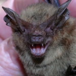 Eastern Long-eared Bat