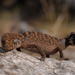 Granite Thick-tailed Gecko