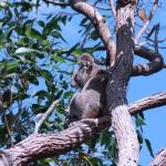 Koala in Swamp Mahogny