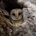 Masked Owl (Beth)