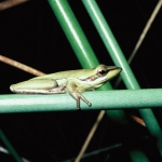 Wallum Sedge Frog