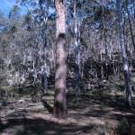 Eucalyptus nobilis