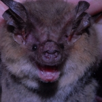 Gould's Long-eared-Bat