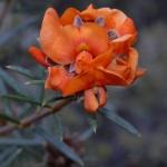 orange pea